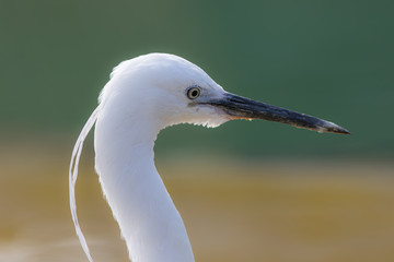 Beautiful aesthetic nature image of a white Little Egret bird. Zen-like and serene.