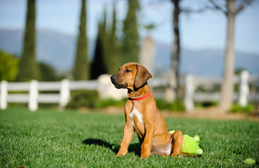 Rhodesian Ridgeback dog puppy outdoor portrait sitting in yard with toy
