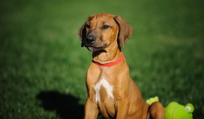 Rhodesian Ridgeback dog puppy outdoor portrait in grass with toy