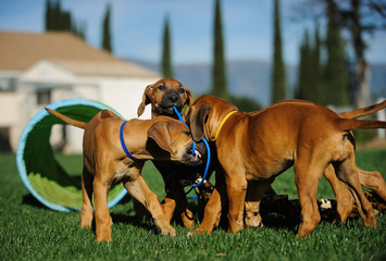 Litter of Rhodesian Ridgeback dog puppies outdoor portrait playing and tugging with agility equipment in background