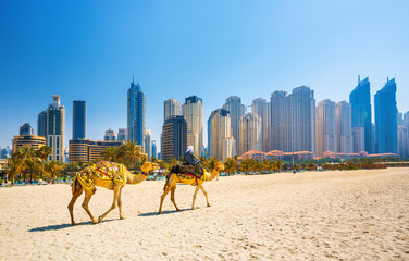Spoed Fotobehang Dubai The camels on Jumeirah beach and skyscrapers in the backround in Dubai,Dubai,United Arab Emirates