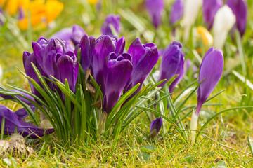 Poster Krokussen crocus flowers in a park
