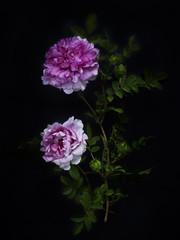 Chestnut Rose