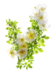 Frulingsgold Rose