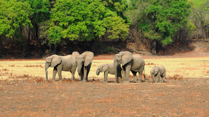 Herd of African Elephants on the open savannah with a natural bush and tree lined background in South Luangwa National Park, Zambia