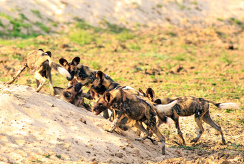 A Pack of African Wild Dogs (Lycaon Pictus), alsoknown as Painted Dogs playing and fighting after enjoying a meal.  South Luangwa National Park, Zambia - Southern Africa