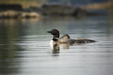 Mother loon and baby loon swimming together in Canadian lake