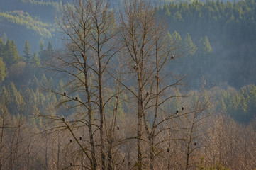 Bald Eagles in a Tree Along the Nooksack River in Washington State. At least twenty-one bald eagles roost in an alder tree during the annual salmon spawning time in the Mt. Baker National Forest.