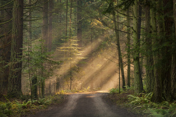 Sunlight Shining Through a Forest on a Foggy Morning. Light rays streaming through the fog illuminates the fir and cedar trees on a country dirt road.
