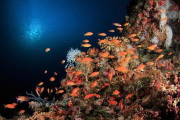 School of Anthias, Maldives