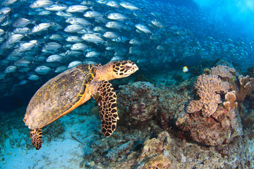 Sea turtle and school of trevally at Sipadan island