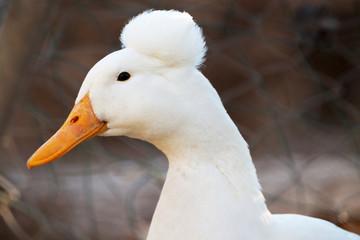 tête du canard à pompon blanc