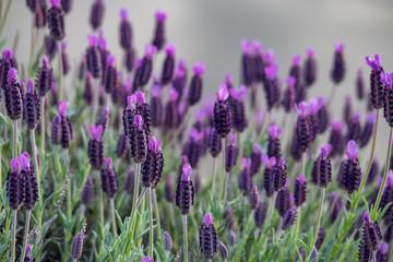 beautiful purple Lavender field near the river