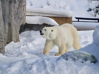 Polar Bear at Asahiyama zoo, Hokkaido, Japan, in winter time.