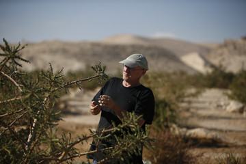 Guy Erlich, an Israeli entrepreneur who hopes to revive the use of rare plants in therapeutic balms and incense for commercial ends, checks a frankincense plant at a plantation in Kibbutz Almog, Judean desert, in the West Bank