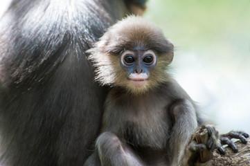 Dusky Leaf Monkey in deep forest,Thailand
