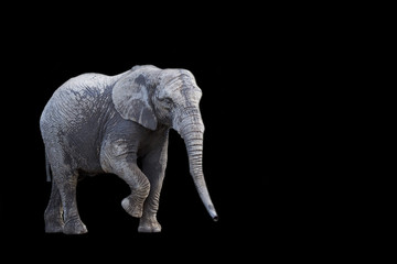 Elephant on a black background