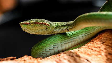 Wall Murals Dragons Male Wagler's pit viper