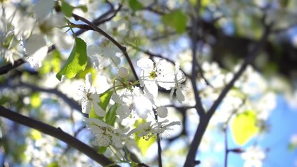 Wall Mural - Spring sun shining on white blossoming tree, closeup Slow motion