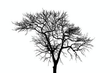Deciduous tree, white backdrop