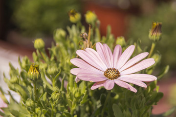 Close up pink daisy and buds in nature