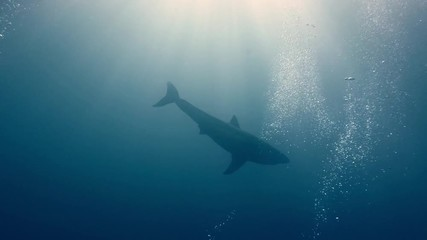 Wall Mural - Great White Shark underwater in deep blue ocean water