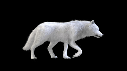 3d Illustration white wolf isolate on dark background, arctic wolf, the canidae family and a subspecies of the gray wolf.