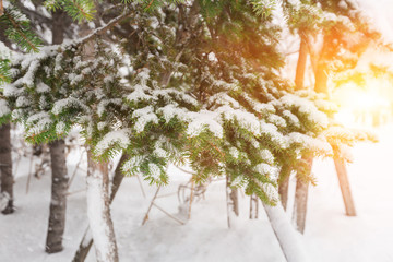 snow on pine tree with sunlight of sunrise