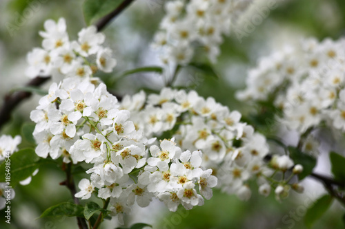 Blossoming bird cherrysmall white flowers of a fragrant bird small white flowers of a fragrant bird cherry are covered by mightylinksfo