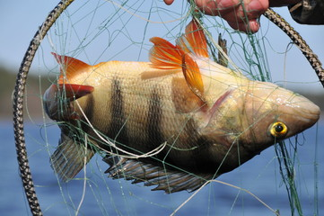 perch caught in the net