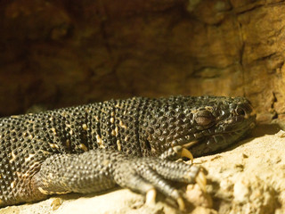 Guatemalan beaded lizard, Heloderma charlesbogerti is a large poisonous lizard