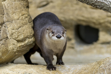 North American River Otter in Rocks