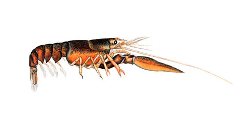 Illustration of a lobster