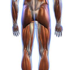 Male Posterior Leg Muscles on White