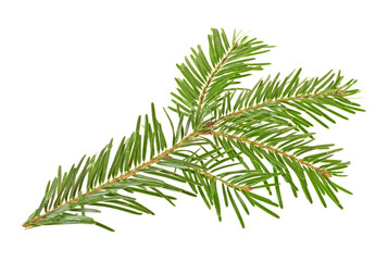 Twig of spruce on a white background