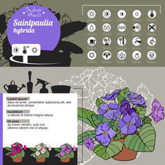 Template for indoor plant Saintpaulia. Tipical flowers grown at home and office.