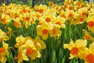 Bright vivid yellow daffodils flowers