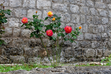 Roses bush is growing in front of old stone wall of monastery. Montenegro