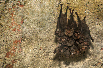 Groups of sleeping bats in cave