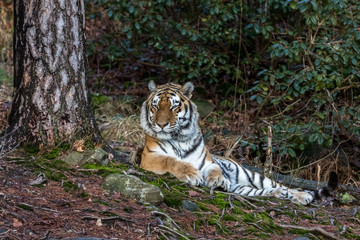 Siberian tiger, Panthera tigris altaica, resting in the forest. Zoo.