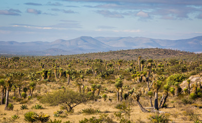 Dry Desert at daylight with cactuses