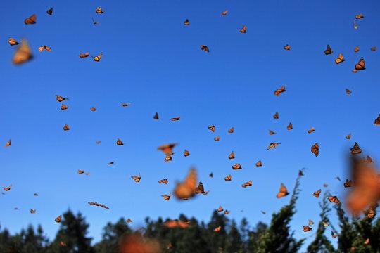Millions of Monarch Butterflies, Michoacan, Mexico