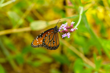 Queen Butterfly - A Queen butterfly (Danaus Gilippus) feeding on a bunch fresh blooming pink flowers in a summer garden.