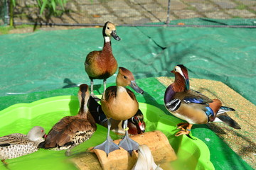 Different kinds of ducks in the barnyard