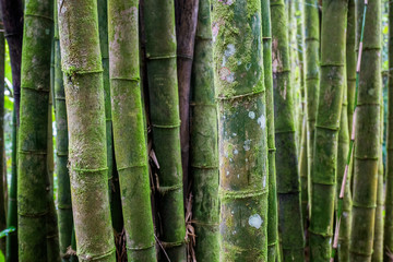 Old bamboo tree forest texture