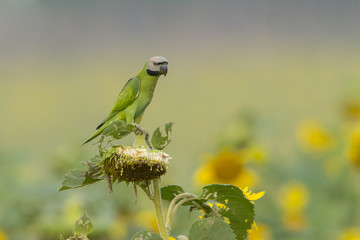 Red breasted parakeet perching on sunflower (female)