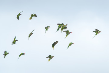 Red-breasted parakeet flying on blue sky