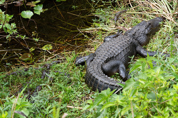 American alligator (Alligator mississippiensis) photographed in its native habitat