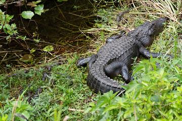 American alligator (Alligator mississippiensis) photographed in its native habitat