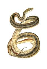 Illustration of a snake.